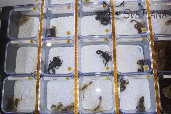 Купить скорпионов на Рептилиуме