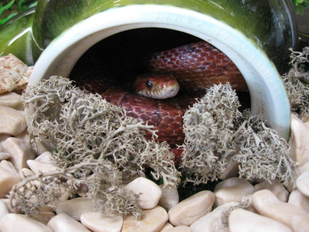 Змея в укрытии в терре