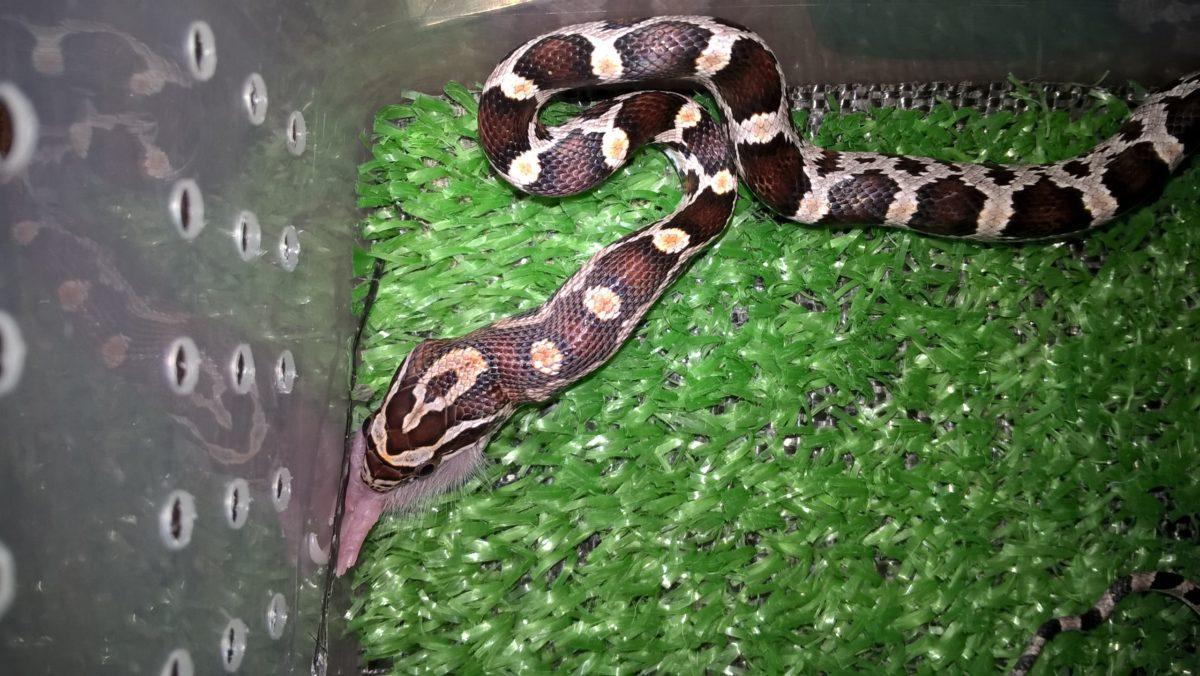 Змея ест на искусственной траве