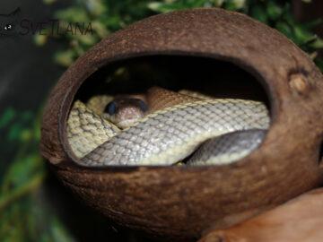 Тениура линяет в кокосе