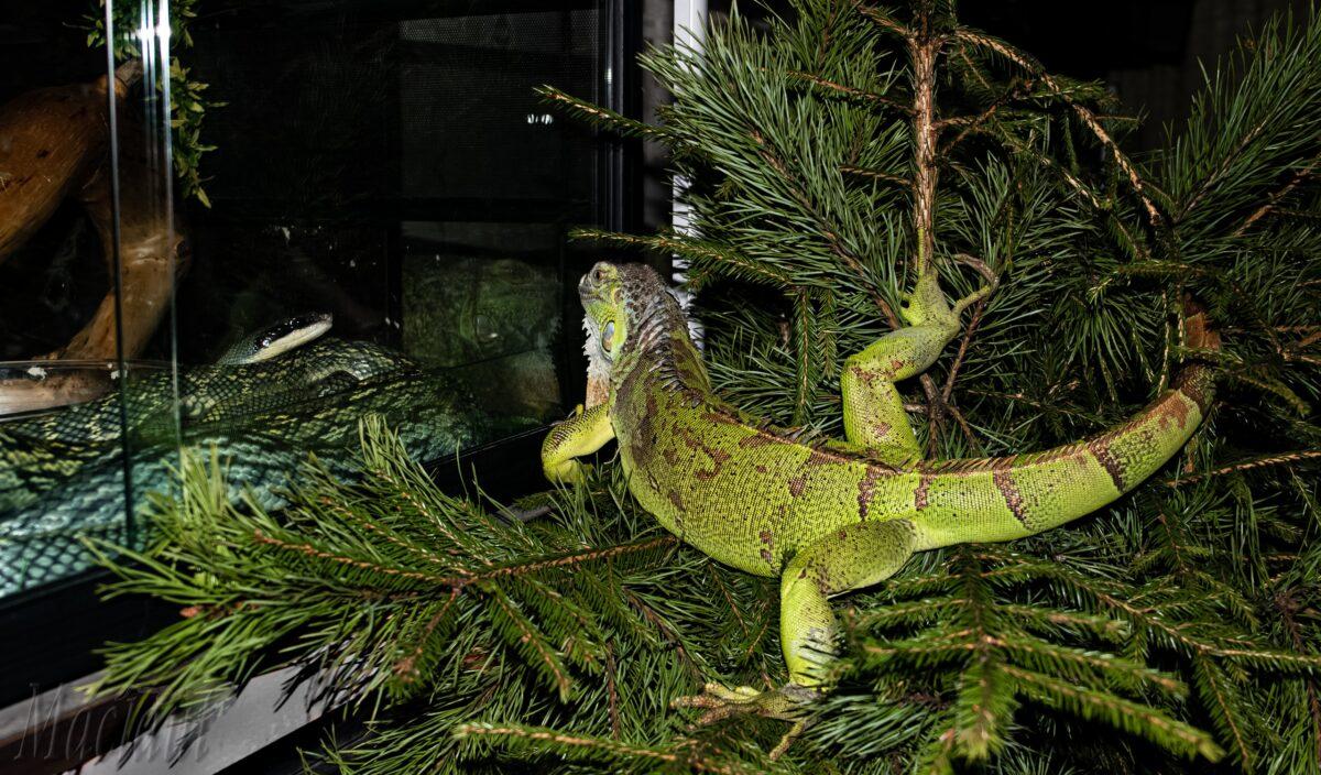 Зеленая игуана на елке